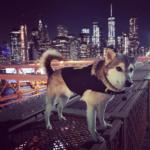 Dog Anxiety Vest - Husky in Brooklyn