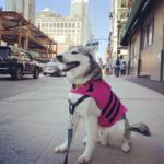 Dog Anxiety Vest - Husky in NYC