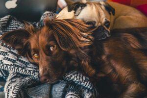 Benadryl for Dogs – The Full Guide