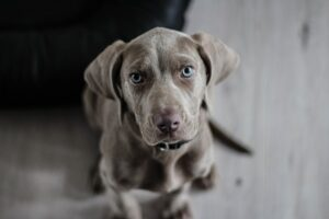 Read more about the article Dogs Crying – The Reasons And The Tested Remedies
