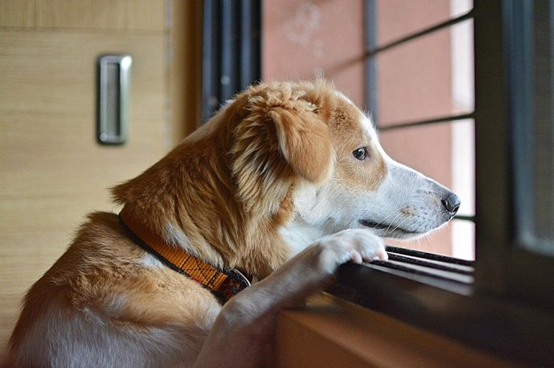 Dog Separation Anxiety - Dog looking at the window