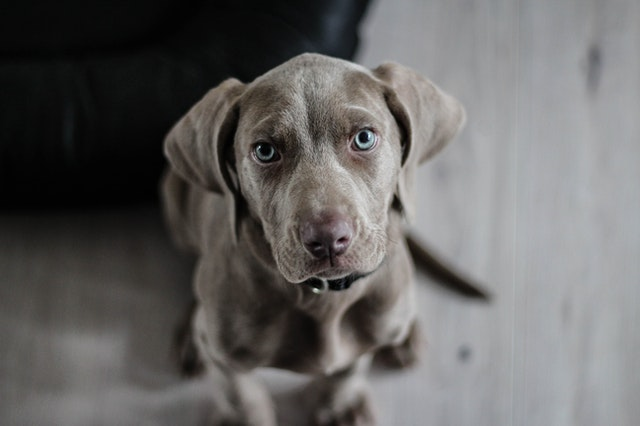 Dogs Crying - a dog with blue eyes