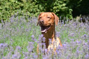Essential Oils Safe for Dogs? Find Out if they Suit Your Dog