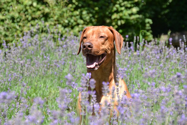 Essential oils safe for dogs - a dog in the field