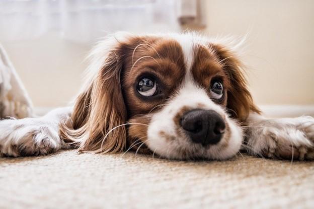 barking dog - anxious king charles cavalier