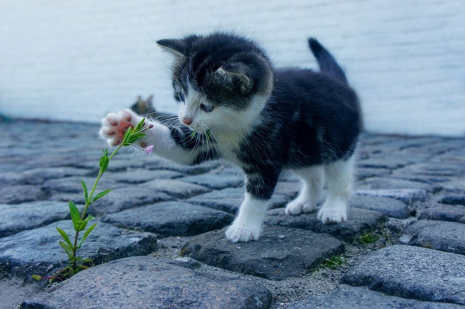 Essential Oils for Cats - Playful Cat