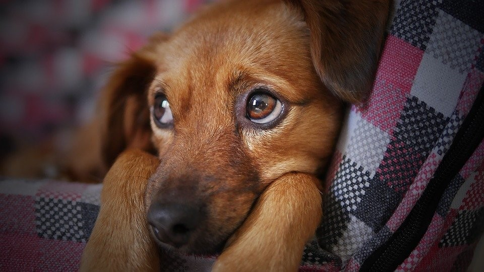 ibuprofen for dogs - worried brown dog