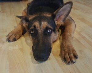scared dog - german shepherd feeling anxious