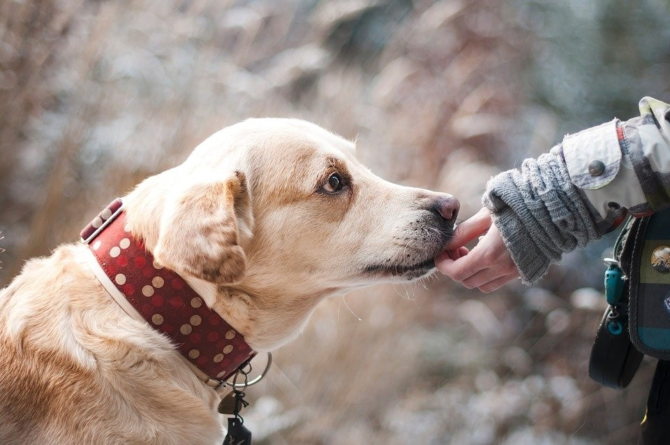 tramadol for dogs - labrador eating
