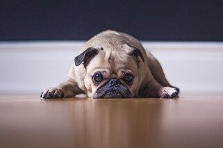 dog fear - pug laying down