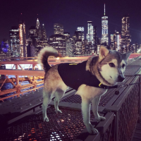 Dog Anxiety Vest - Husky in Brooklyn